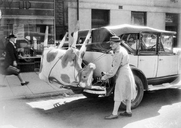 vintage-photo_papier-mache-cow-australia-1944